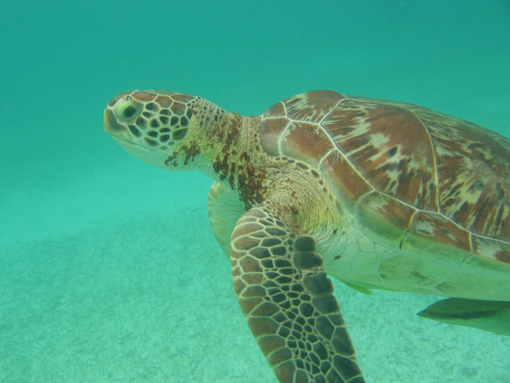Akuma Bay Turtle in Mexico