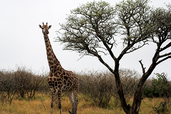 Giraffe at Thula Thula.