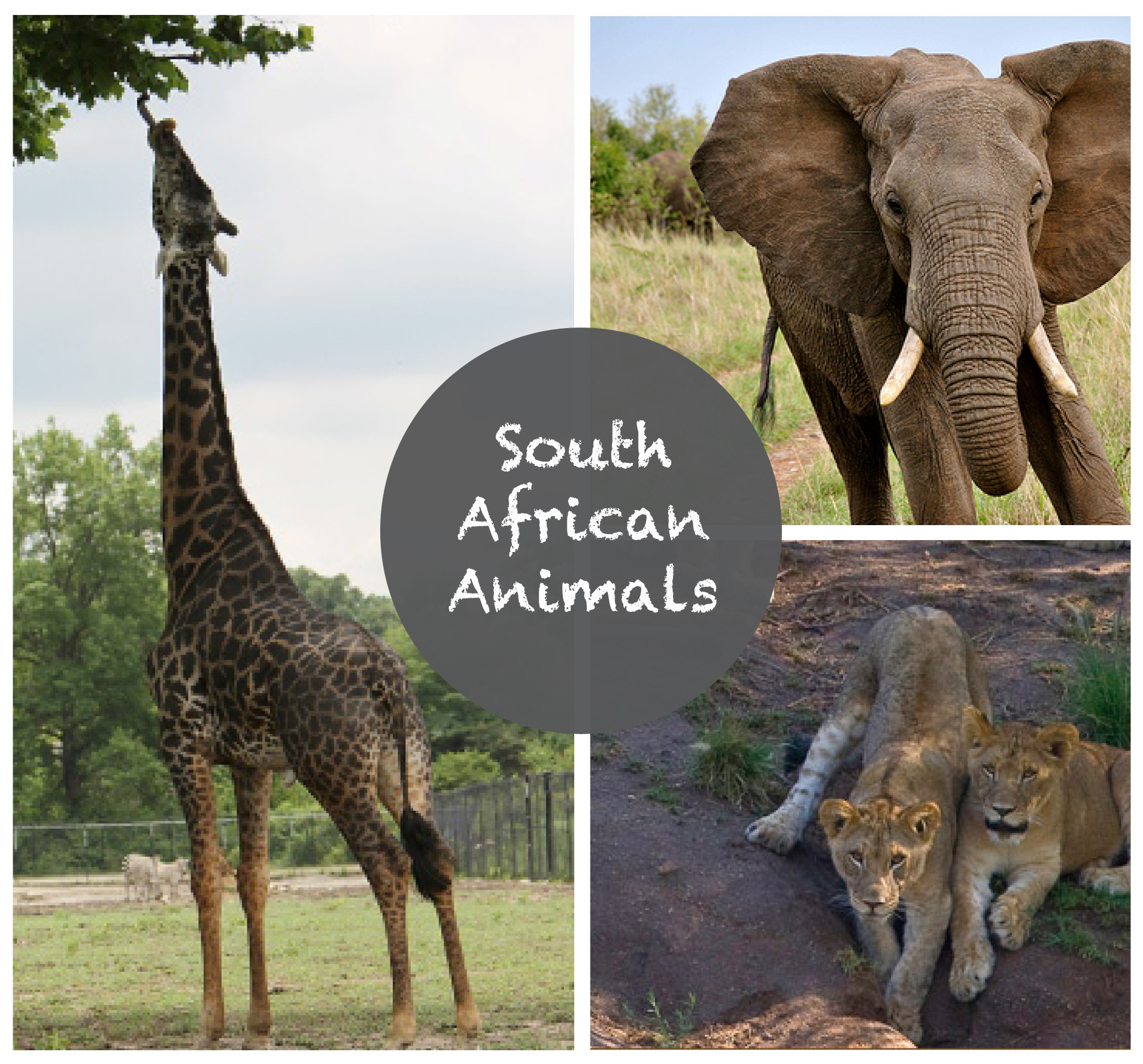 Tea Collection :: South African Animals in US Zoos